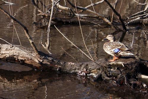 duck 034