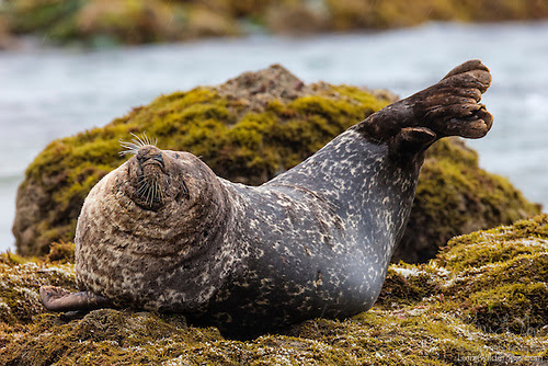 Harbor Seal Stretching, Malibu, California