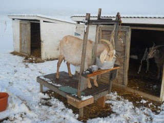Milking Goats in Snow