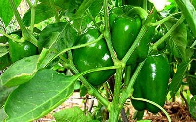 Pimentões na planta