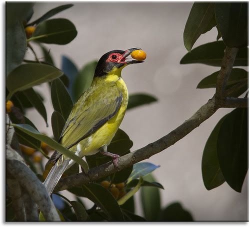 Figbird feeding (Male Australasian Figbird)