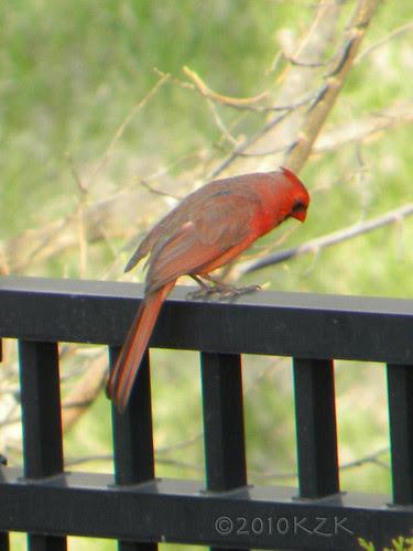 DSCN4758 Cardinal