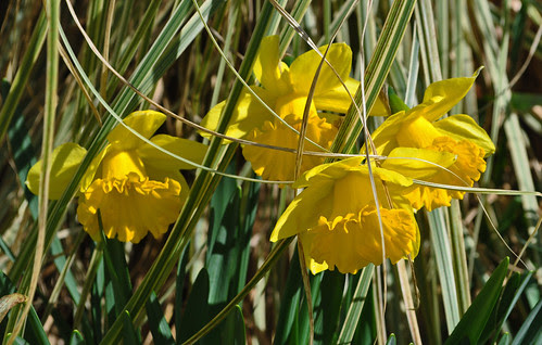 Narcissus Wednesday (8)