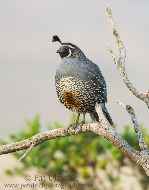 California quail on a branch at sunrise in Point Reyes National Seashore