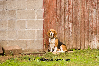 Lonely Beagle, Vernon County, Wisconsin