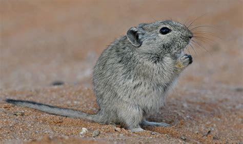 Parotomys brantsii (Brants' whistling rat)