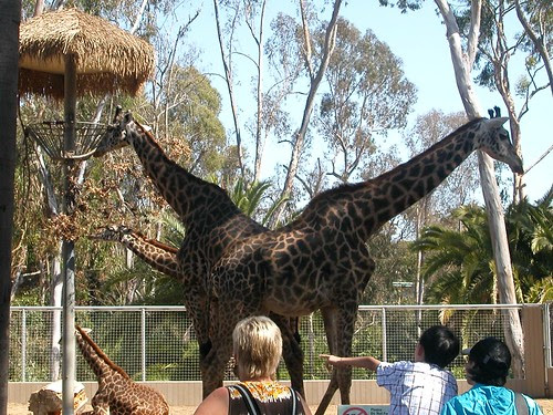 The rare two-headed giraffe