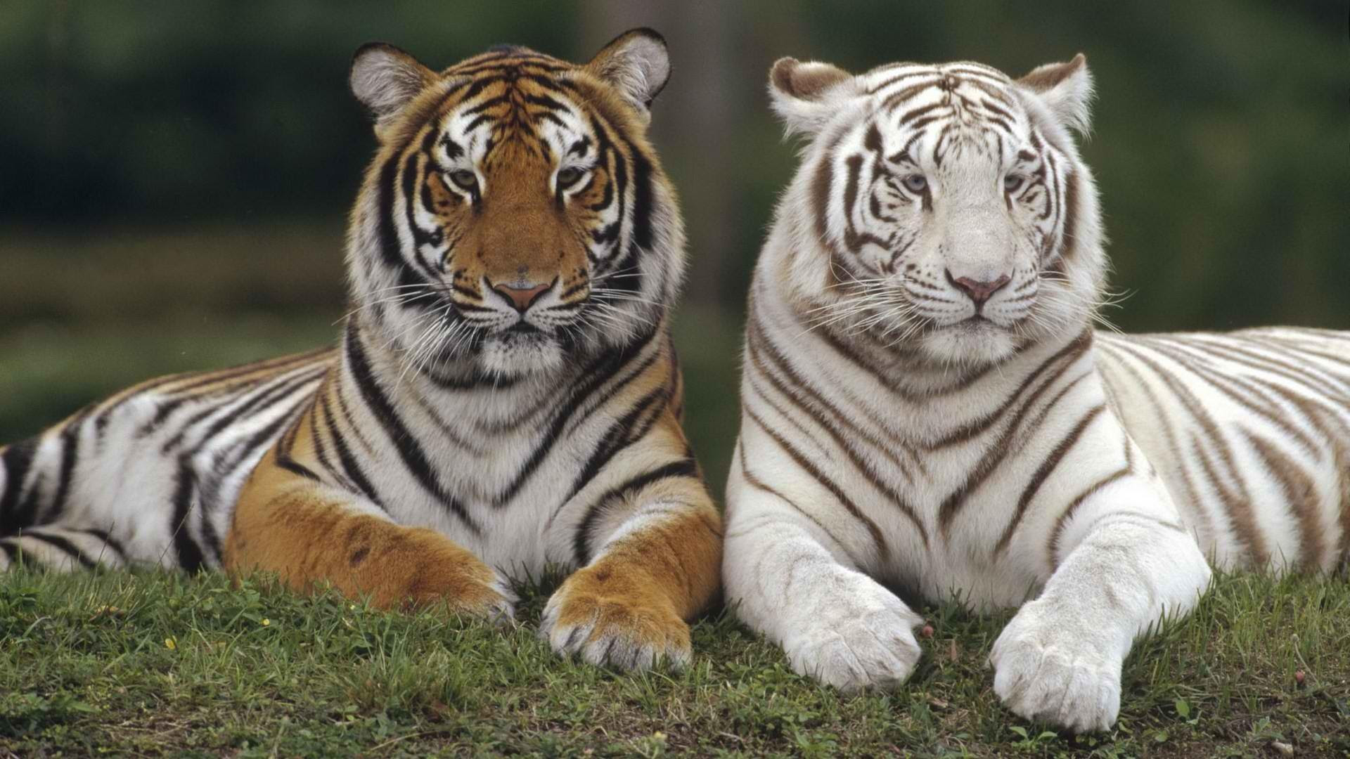 Download Best Tiger Animal Wallpaper 23 Wallpapers Images Free Latestwall