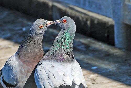 Feral Pigeon (Columba livia domestica)