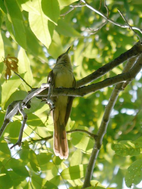 Ed Gaillard: birds &emdash; Great Crested Flycatcher, Central Park