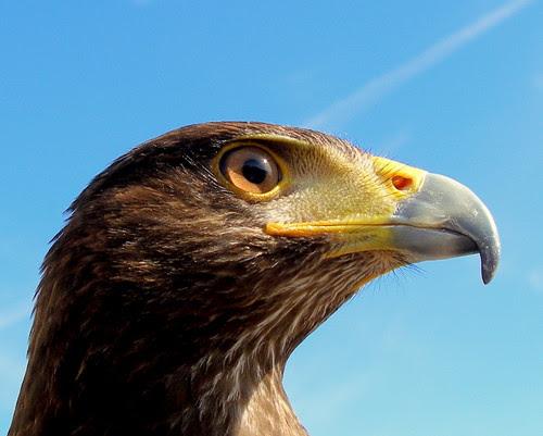 Aquila Chryseatos - Águila Real