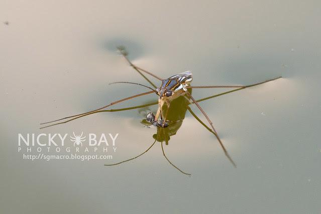 Water Strider (Gerridae) - DSC_8189