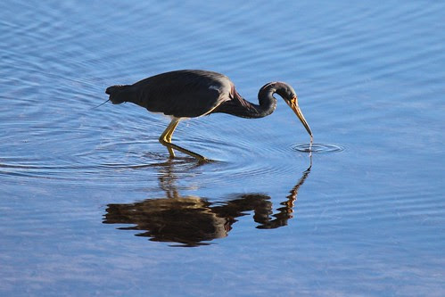 IMG_3763_Tricolored_Heron