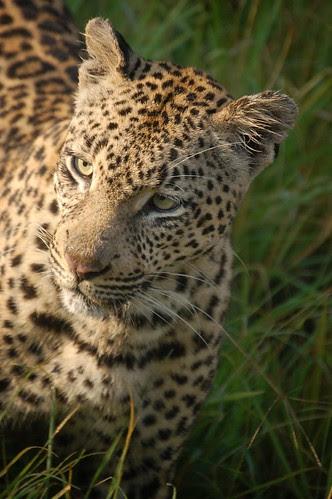 LeopardLust