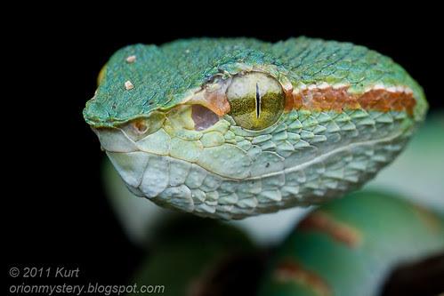 MPE65 viper portrait.....IMG_8726 copy Tropidoleamus subannulatus