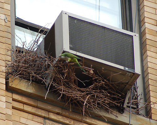 Monk Parakeet Nest