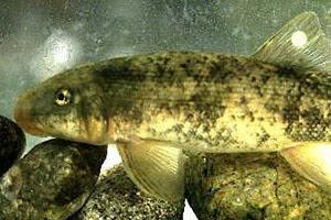 http://www.biologicaldiversity.org/news/breaking/images/SantaAnaSucker_PaulBarrett_USFWS_300.jpg