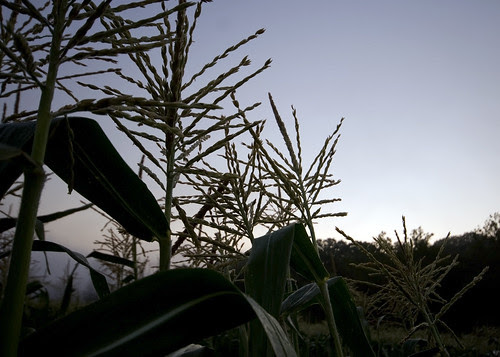 Sweet Corn in the Morn.
