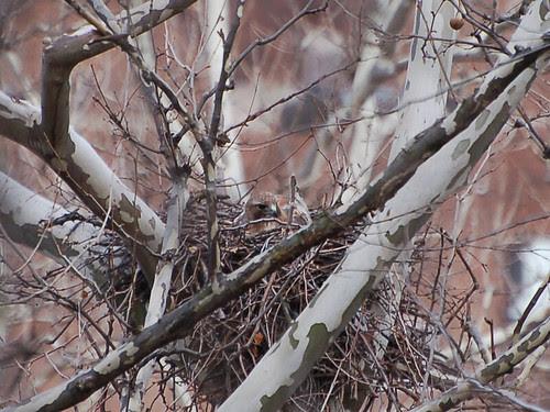 Highbridge Park Hawk in Nest