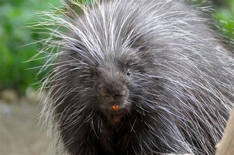 Animal Sex: How Porcupines Do It