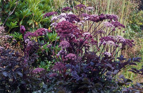 http://www.anniesannuals.com/signs/a/images/angelica_stricta_purpurea_form.jpg