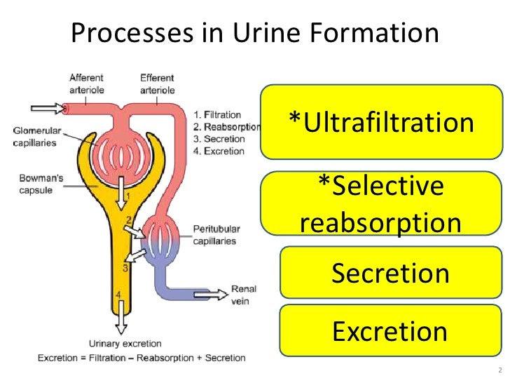 urine formation osmo regulation 2 728