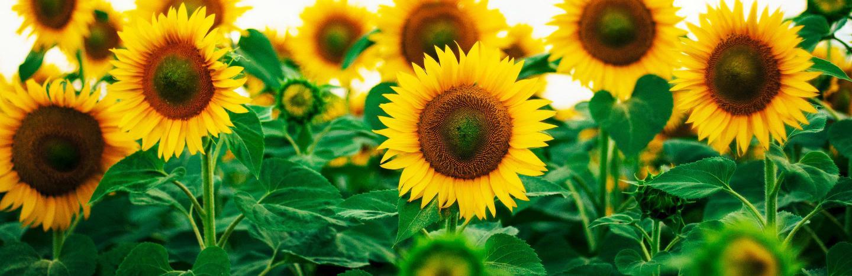 How to Grow Sunflowers   Love The Garden