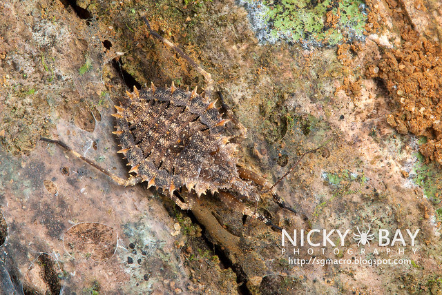 Assassin Bug (Reduviidae) - DSC_6049