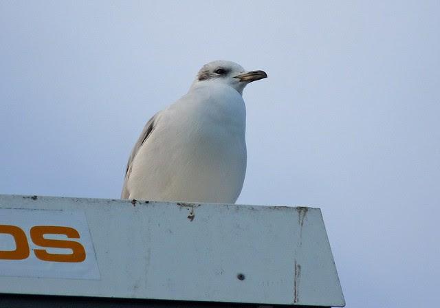 25554 - Mediterranean Gull, Bracelet Bay