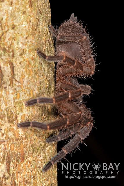 Tarantula (Phlogiellus sp.) - DSC_9957