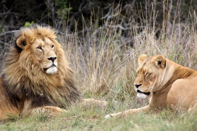Casal de leões na Reserva Krugersdorp Game, na África do Sul. Foto: Derek Keats/cc by 2.0