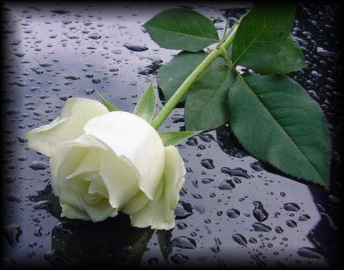 Imagenes Rosas Blancas Para Luto Descargar Imagenes Gratis