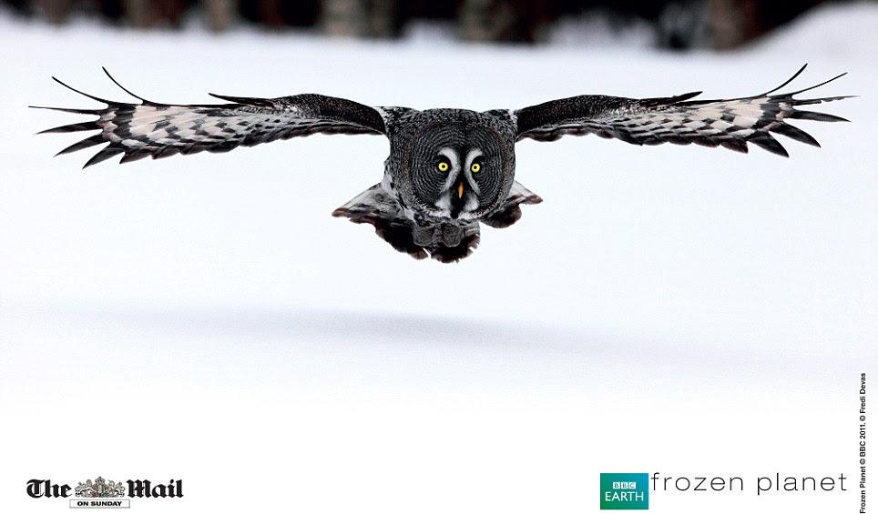 Em voo: Um grande cinzento coruja é capturado deslizando através do ar.  Assim reclusive é muitas vezes referida como a 'fantasma cinzento Grande' ou 'Fantasma da Norte', é um dos maiores corujas no mundo