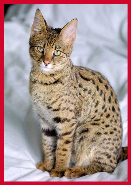 cutest cat breeds (16)