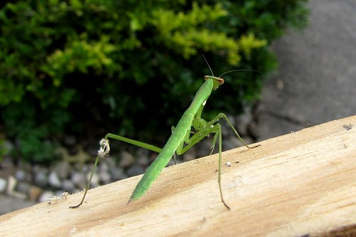 IMG_2567_Praying_Mantis