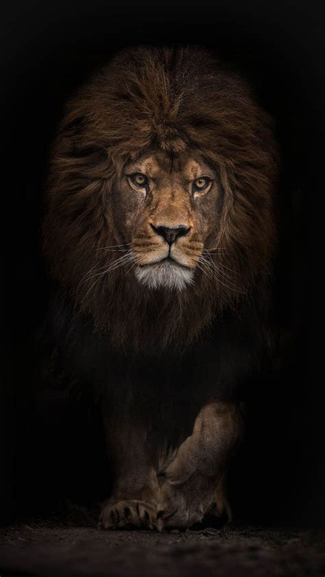 iphone  wallpaper lion  pinterest iphone