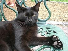 One of the more than 50 polydactyl cats that live at the Hemingway house. This particular cat has seven (two extra) toes on each paw.