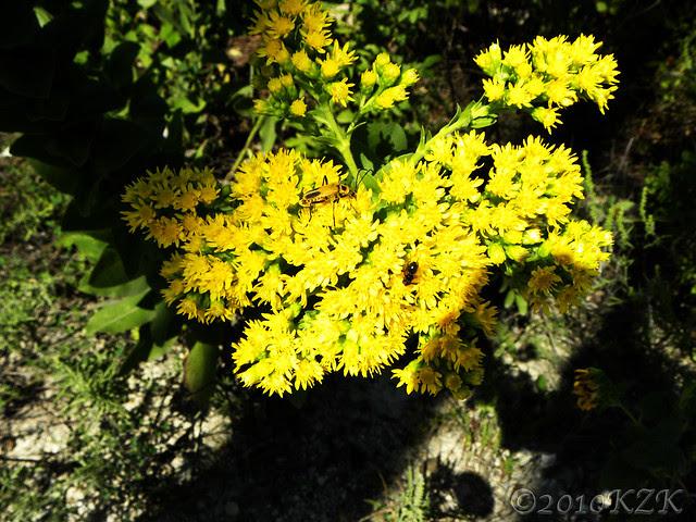 DSCN6709 KS wildflowers