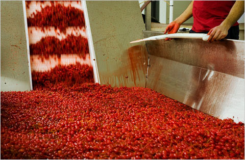 maraschino cherry production practices
