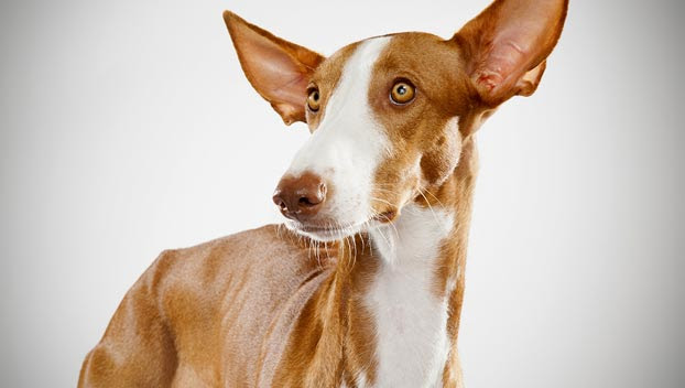 Ibizan Hound : Dog Breed Selector : Animal Planet