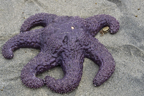 six-armed ochre star