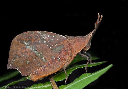 IMG_6299 merged copy Systella rafflesii dead leaf grasshopper