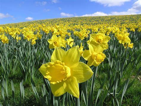 cute daffodil bouquet arrangements flower pictures