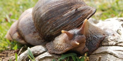 Invasive, Rat size Snails Pose Threat to Indigenous Cuban Snail Populations   SnailCream.co.uk
