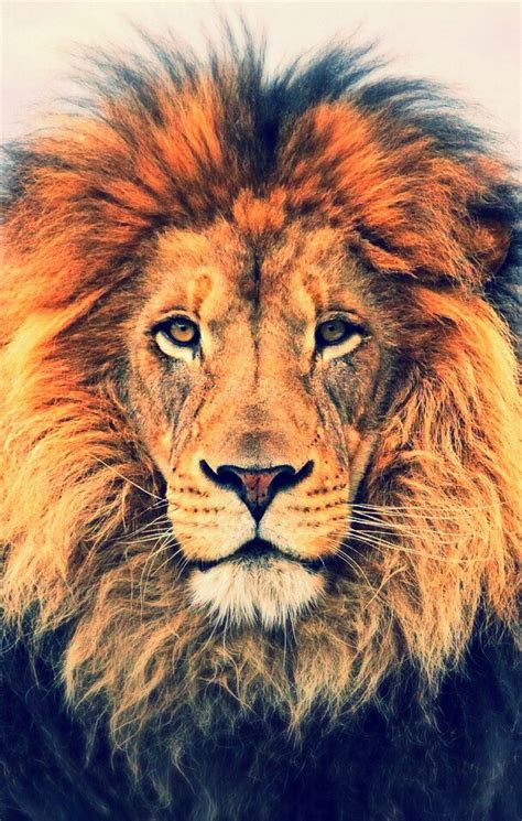 cool lion wallpapers  group wallpapers