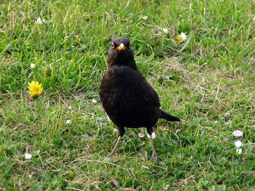 12306 - Balckbird