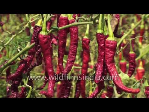 Red Chilli cultivation and sale in Karnataka