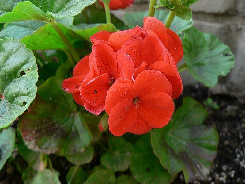 File:Geranium 20070410.jpg