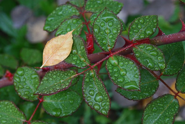 Rose Leaves and Raindrops
