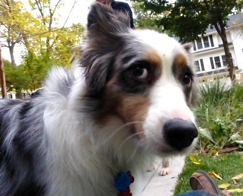 Edward Manners the Australian Shepherd
